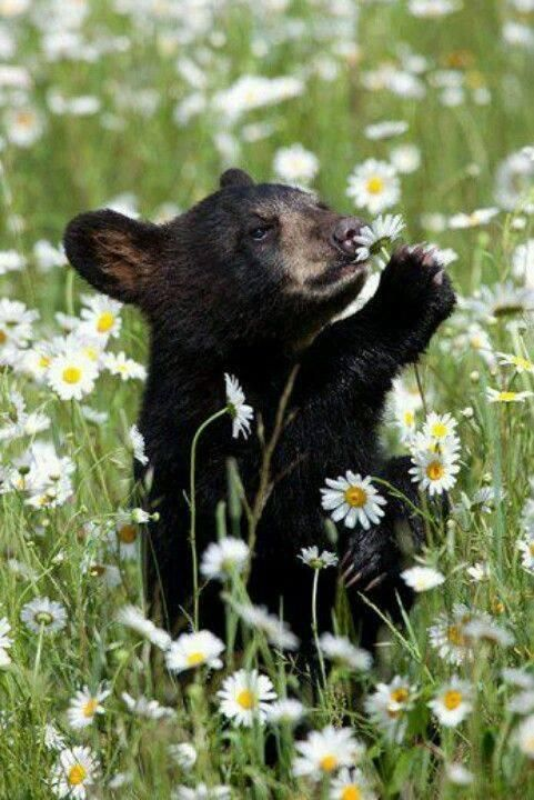 Открытка медведь с ромашками