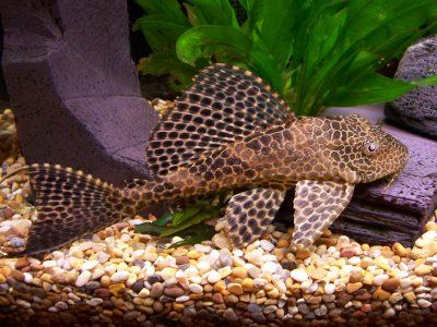 """Plecostomus, or Common Catfish. A tropical fish; I actually only have one of these in all of my tanks and that is only because I took it from my sister-in-law when she sold her tank. They are stunning, low maintenance fish but grow quite big...legend has it that if you call out the name Plecostomus yours will die, hence the shortened term """"Pleco""""..."""