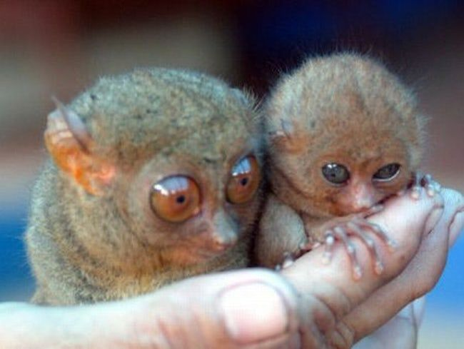 These Tiny Tarsiers Look Poise Is Listed Or Ranked 35 On The List The Cutest Animals That Fit Right On Your Finger Small Pets Cute Animals Unique Animals
