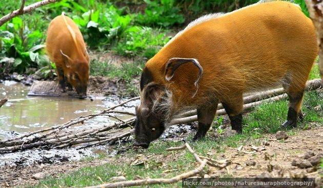 Different Breeds of Wild Hogs   Similar Galleries: Types Of Pigs , Types Of Wild Hogs ,