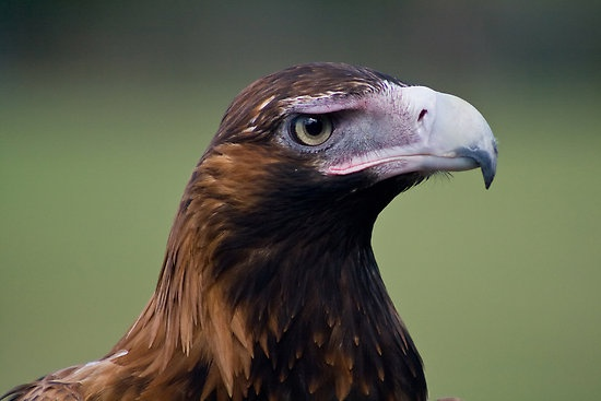 Wedge Tail #Eagle   Animals   Pinterest   Wedge tailed ...