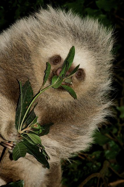 Two-toed sloth | gotta Love em! | Pinterest | Sloths and ...