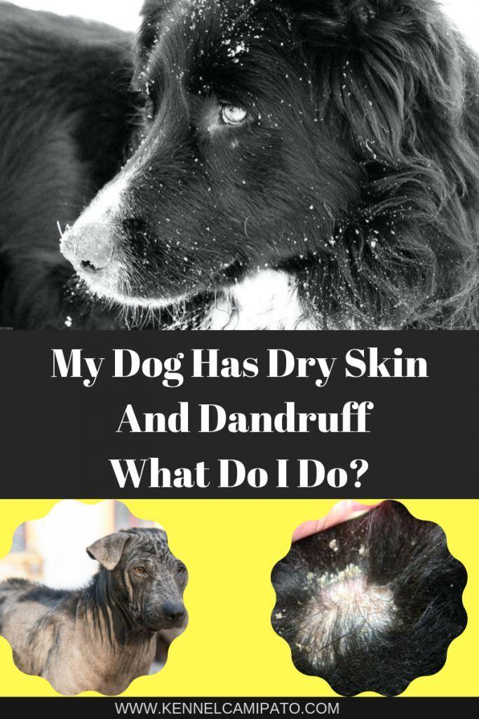 My Dog Has Dry Skin And Dandruff What Do I Do Dog Dandruff Dry