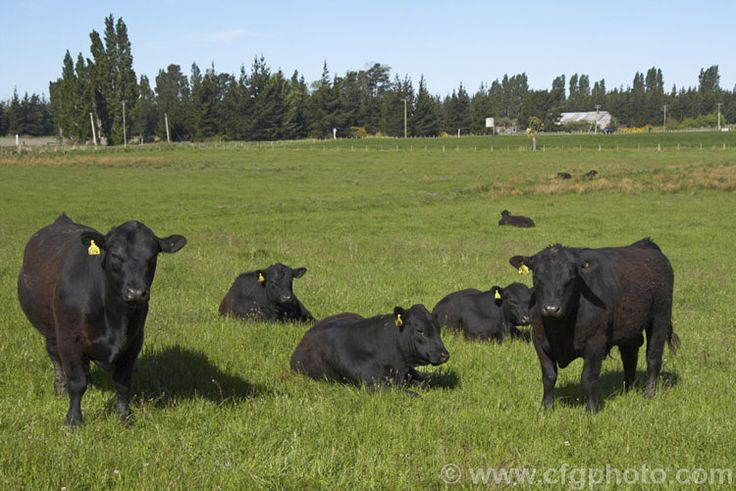 A group of young Lowline Angus bulls. The Lowline Angus is an Australian development of the Angus, and while shorter and more compact, it is still very heavily muscled and suitable as a beef breed. Adult bulls are 1-1.1m at the shoulder and weight around 600kg. These stocky animals are hardy and relatively easy to raise. In addition to their use as beef cattle, the bulls are ideal for mating with dairy cattle to produce a small calf that produces few birthing difficulties. The Lowline was…