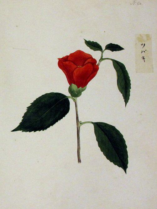 椿 camellia,  Leiden museum Blomhof collection, 川原慶賀画 Keiga Kawahara