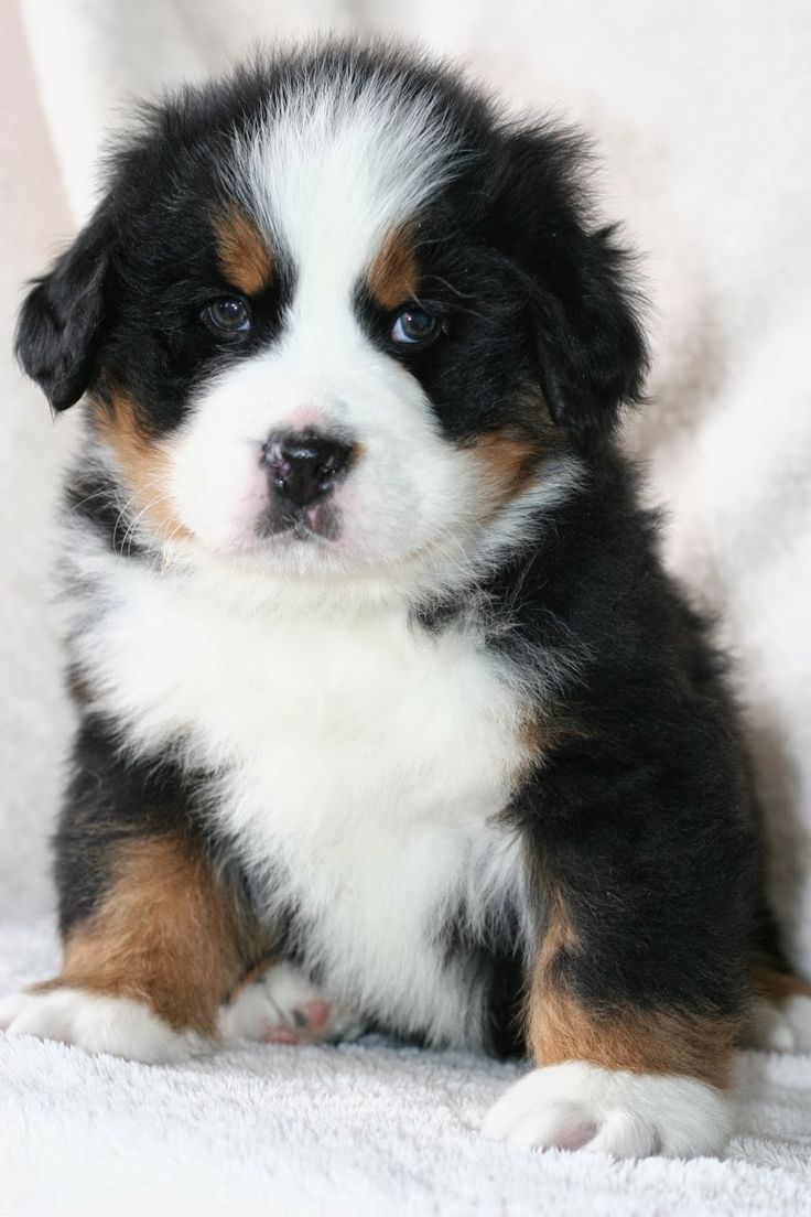 Burmese Mountain Dog Puppy - want one!!