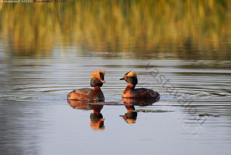 Mustakurkku-uikku (Podiceps auritus) - luonto linnut lintu mustakurkku-uikku luonto järvi vesi heijastus auringonvalo uikut kevät Podiceps auritus tyyni vesilintu tupsu uikkulinnut vesilinnut