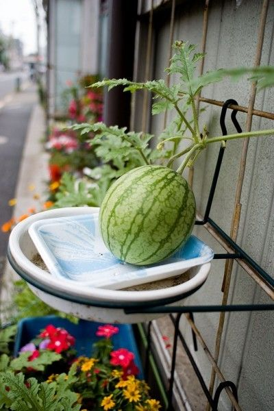 Container Watermelons: Tips for Growing Watermelons in Containers