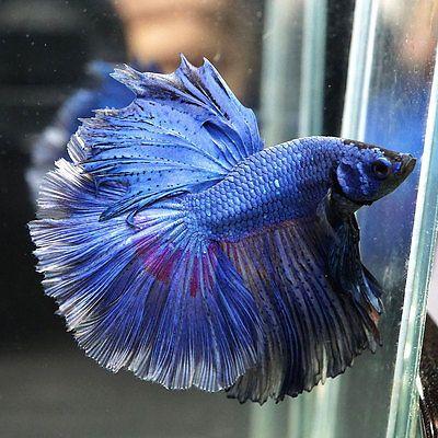 Blue/Violet Rosetail-Halfmoon