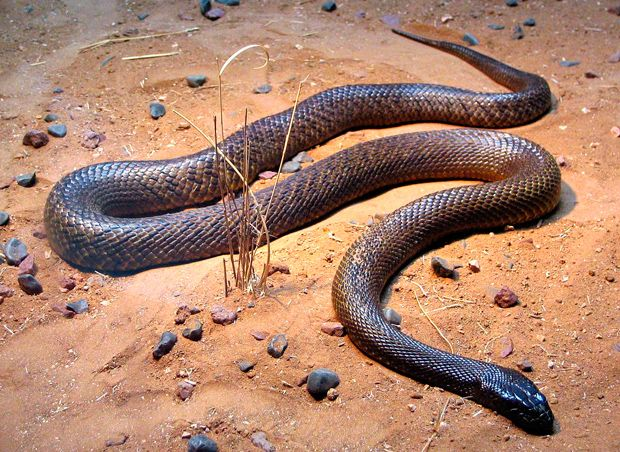 Reclusive and rare, the inland taipan hides out in its remote, rocky habitat. This snake only makes the top 10 because of its highly toxic venom, considered to be the most potent of any land snake in the world; it has the potential to kill an adult human within 45 minutes.