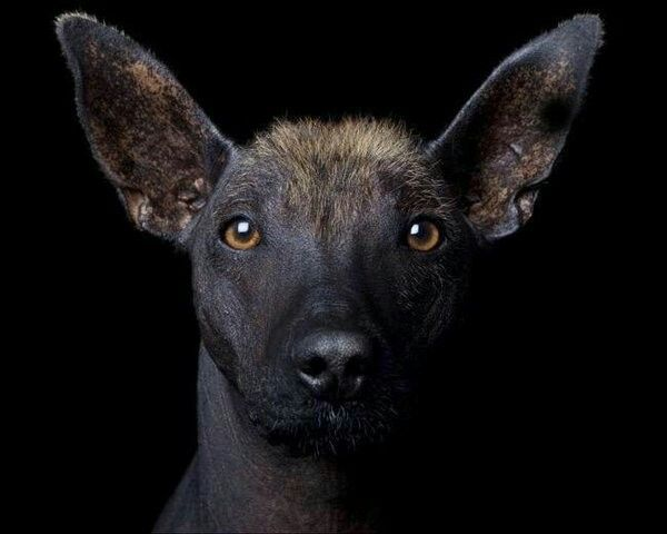 An escuincle dog, a Mexican breed.