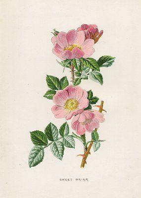 Sweet Briar (Rosa Rubiginosa) Simplicity