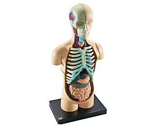 Human Body Anatomy Model by Learning Resources