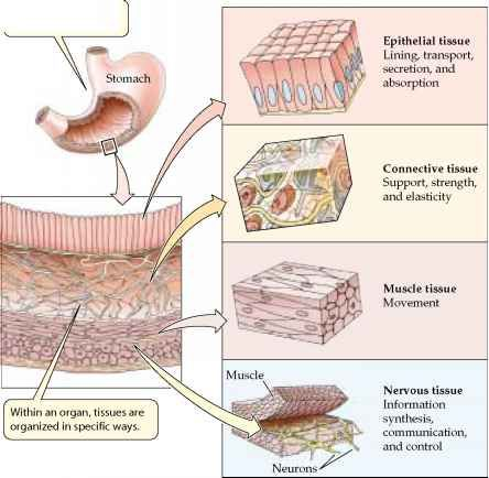 four main types of tissue The 4 basic tissue types in the human body  there are four main tissues in the body – epithelium, muscle, connective tissue and nervous tissue i epithelium.