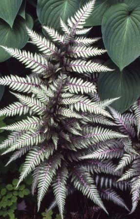 """GROW IT! Japanese Painted Fern is a wonderful choice for moist SHADE GARDENS! Its silver, maroon and green variegated leaves add a lovely texture to any garden. Height: 16-20"""" / Spread: 18-24"""""""