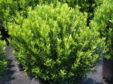 17 best images about shrubs on pinterest hedges st john for Tall evergreen shrubs