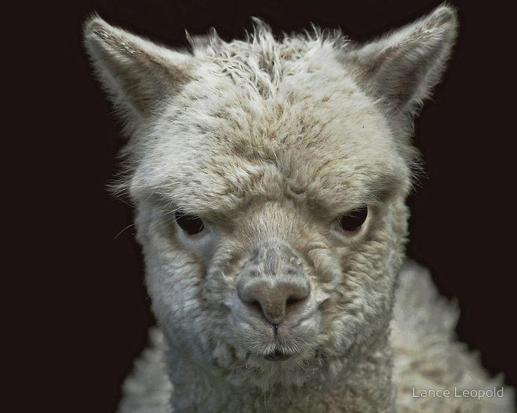 159 best images about ALPACAS on Pinterest | Alpaca ...