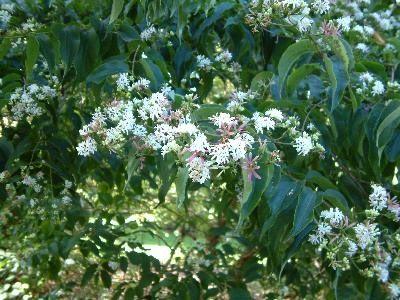 Heptacodium miconioides les 750 esp ce d 39 arbres et for Catalogue arbustes jardin