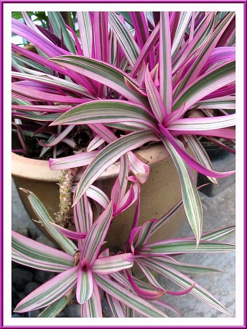 how to grow oyster plant