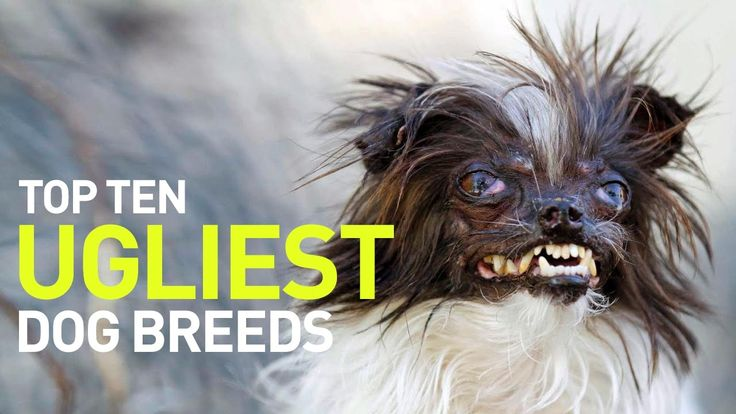 Top 10 Ugliest Dogs and Dog Breeds in the World