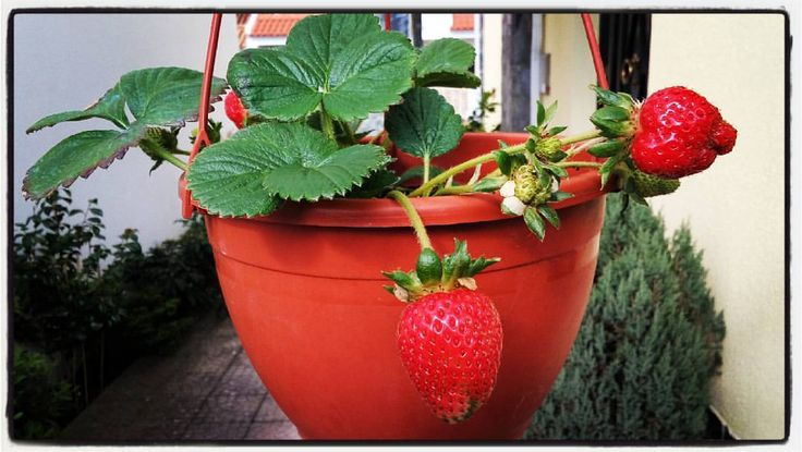 The first strawberries of this year