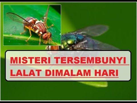 Lalat merupakan binatang yang aktif di siang hari tahukah anda kemana lalat akan pergi di malam hari karena setiap malam datang kita tidak akan menemuka