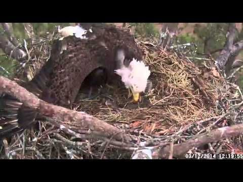 March 12, 2014: Mount Berry, Georgia: Berry College Bald Eagles - Nest Intruder - Video (the video summarizes the hour long event in which a four year old, sub adult, Bald Eagle threatens the nest of a female Bald Eagle and her eaglet. The female Bald Eagle can be seen protecting her eaglet as she calls frantically for her mate. Once her mate returns to the nest both parents chase the juvenile Bald Eagle off.) (Berry College Live Eagle Cam: http://www.georgiawildlife.com/BerryEagleCam)