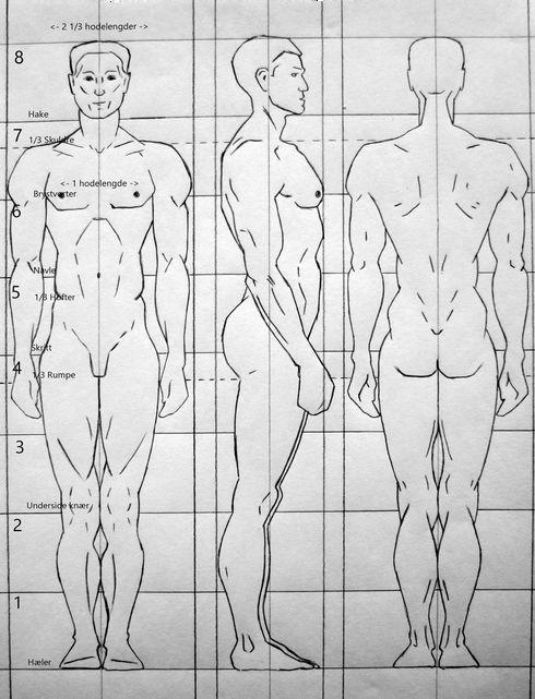 mann  Damer har som regel bredere hofter enn menn  Menn har som regel bredere skuldre enn damer  Ansiktet er ca like stort som håndflaten  Den loddrette avstanden mellom haken og brystvortene utgjør en hodelengde.  Den loddrette avstanden fra fingertuppene til kneet er en håndlengde.  Håndleddet ligger på samme vannrette linje som hofteleddet.  Fotbladet er like langt som underarmen, fra innsiden av albuleddet til håndleddet