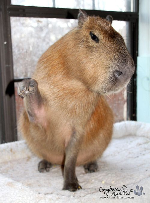 Capybaras are very intelligent and can learn a lot of tricks. In this photo Garibaldi Rous is waving for a treat. Apparently he has to put his gigantic head off to the other side in order not to fall over when he does this.