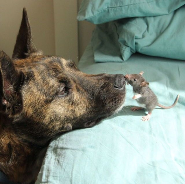 dog and rescued rat are unlikely bffs
