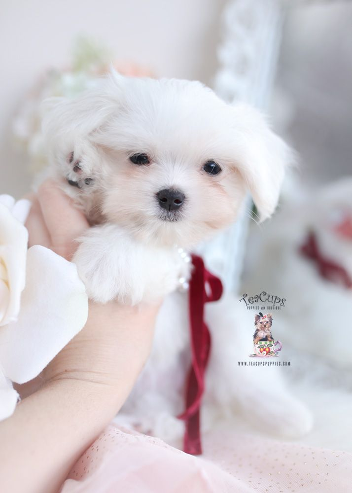 Cute Shih Tzu Puppies For Sale In Florida Teacups Puppies Boutique In 2020 Puppies For Sale Teacup Puppies For Sale Maltese Puppy