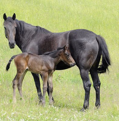 """What is the average life span of a horse? 20-30 years! The modern domestic horse has a life expectancy of 25 to 30 years. Uncommonly, a few animals live into their 40s and, occasionally, beyond. The oldest verifiable record was """"Old Billy"""", a 19th-century horse that lived to the age of 62."""