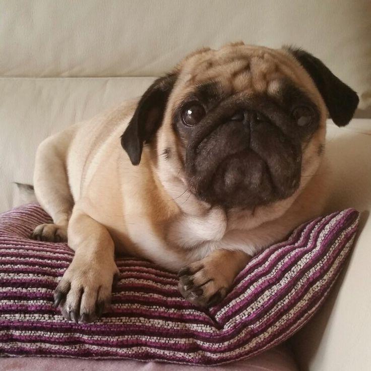 Al sofá pug dog carlino Pug