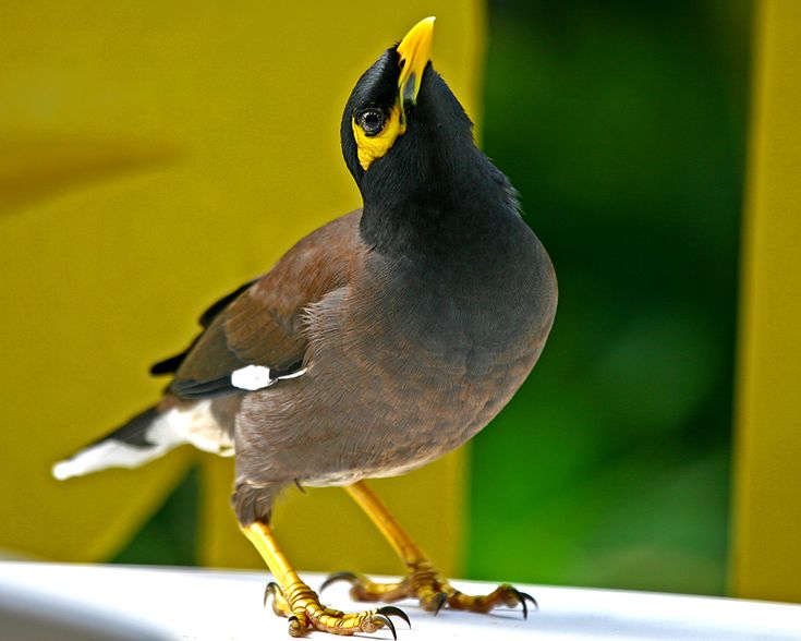 Mynah bird. Some mynas are considered talking birds, for ... - photo#3
