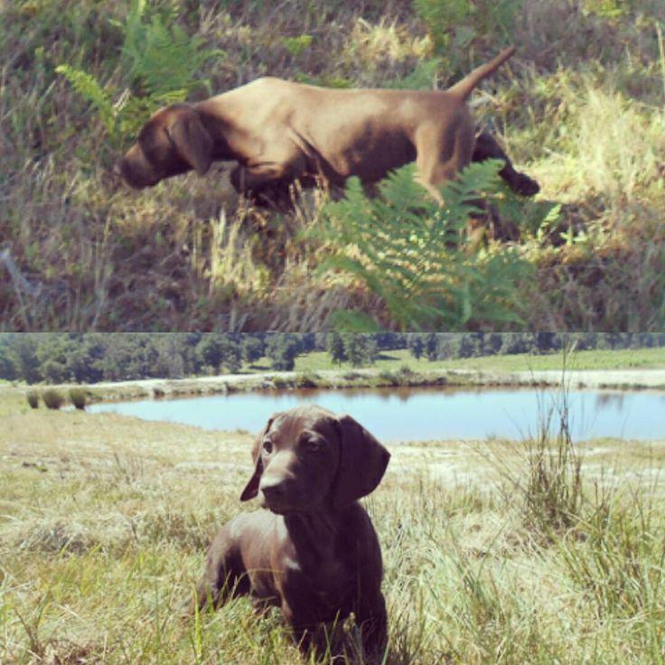 Chiots Braque allemand L.O.F ❤ Disponibles   Puppies available 💻 Découvrez toutes nos photos : www.chiotselevagedannaoned.com  #braqueallemand #gsp #puppy #puppies #gundog #deutschkurzhaar #welpen #dog #hund #chien #pet #chasse #hunting #jagd #etang #nature #doglove #puppylove #dogpics #petpics #birddogoftheday #pups