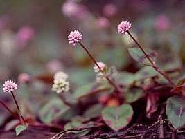 O tapete-inglês é uma planta herbácea, reptante e perene, que alcança 15 a 20 cm de altura. Sua ramagem é delicada, de cor castanha e as folhas são lanceoladas, pubescentes, com margens e ne...