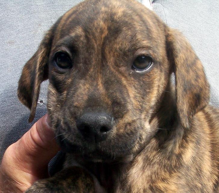 cute plott hound dog - photo #3