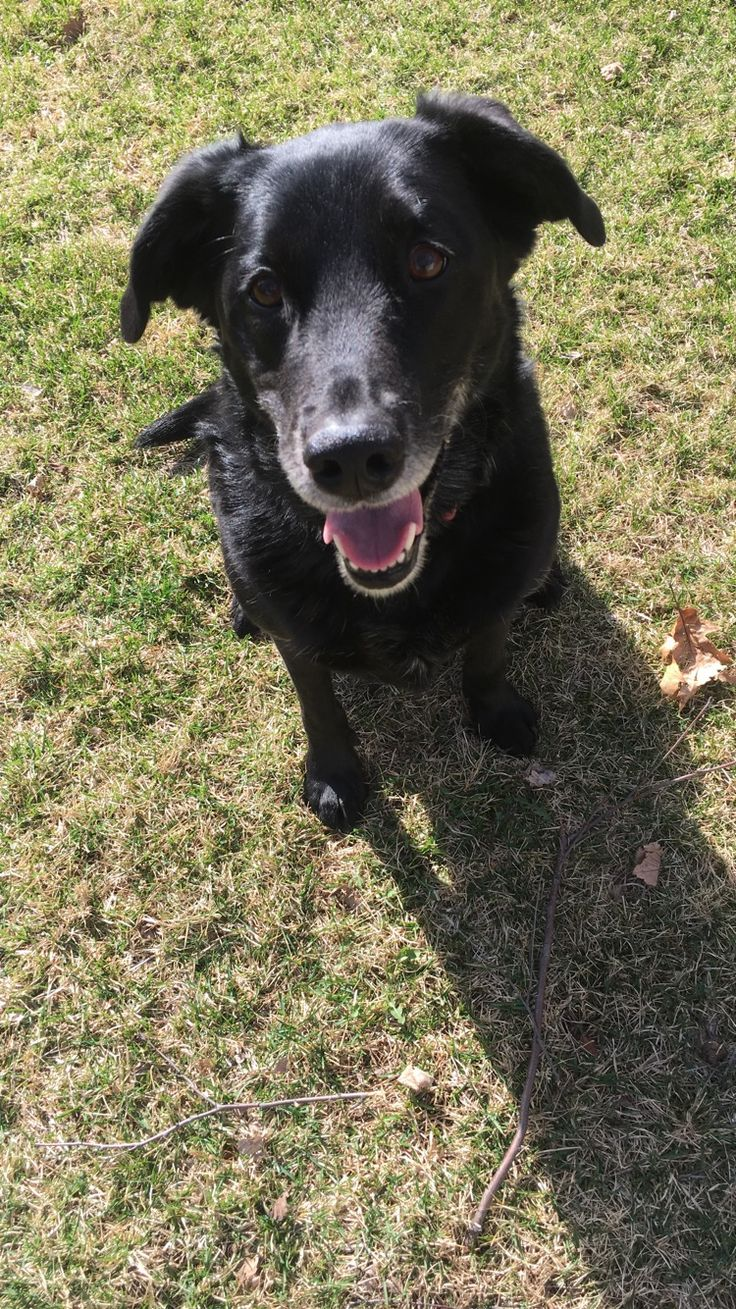 My actual puppy. Her name is Neela and she is a black Labrador mixed with a Retriever mixed with a border collie