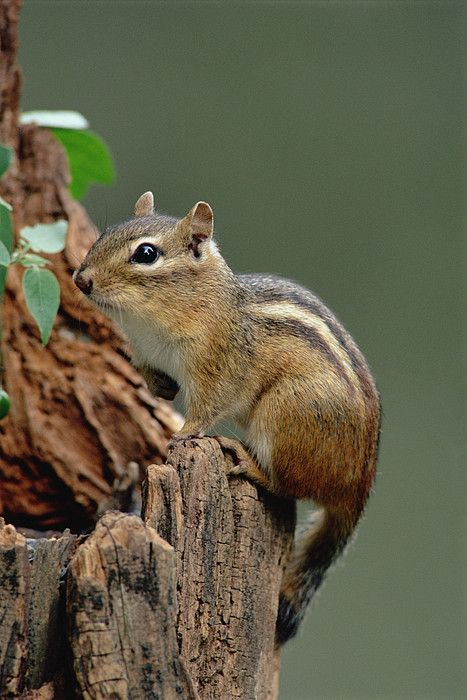 **Eastern Chipmunk