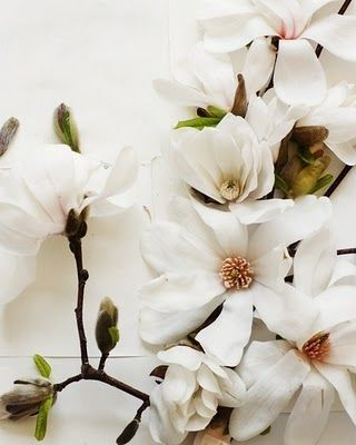 """Magnolia is an ancient genus. Appearing on the scene before the bees did, the flowers evolved to encourage pollination by beetles. To avoid damage from pollinating beetles, the carpels of Magnolia flowers are extremely tough."" <3"