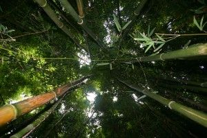 The Pipiwai Trail cuts though an immense and unforgettable bamboo forest: Hiking Trail, Bamboo Forest