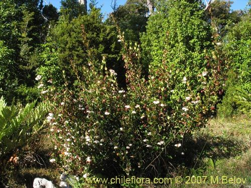 Ugni molinae (Murta) o Murtilla  http://www.chileflora.com/Florachilena/ImagesHigh/CIMG_2413.jpg