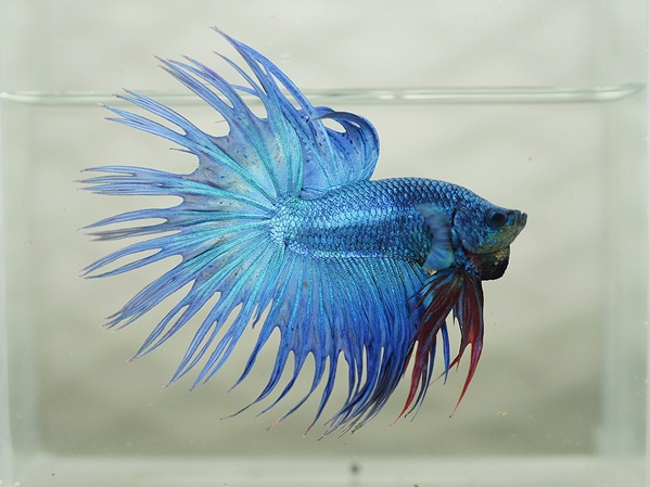222 best images about betta fish on pinterest betta tank for Beta fish water