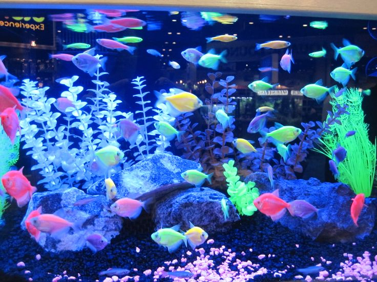 Look at all the different colors! #Glofish #fish #aquarium ...