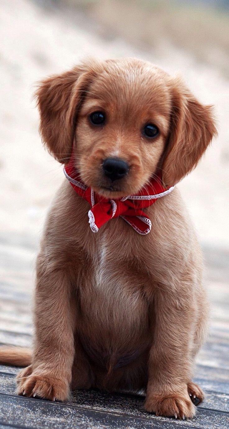 Best 25 Christmas puppy ideas on Pinterest