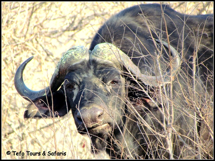 Cape Buffalo spotted in Kruger National Park