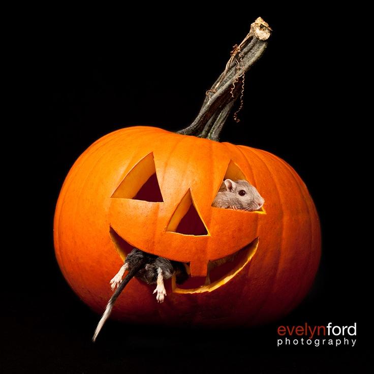Gerbils, Oreo and Smokey, pumpkin-eaters