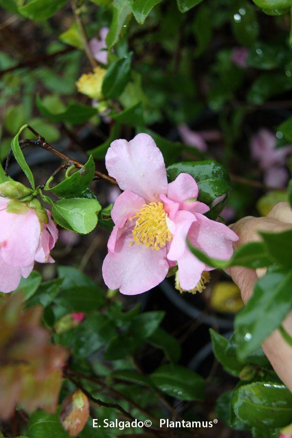 Camellia sasanqua New dawn http://www.plantamus.es/camelia-camellia/camelia-sasanqua-olorosa