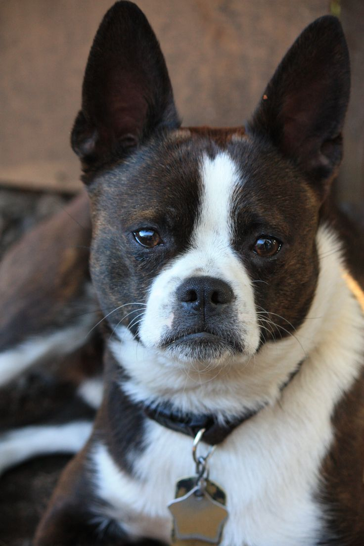 boxer and boston terrier mix 17 best ideas about boston terrier boxer mix on pinterest 4066