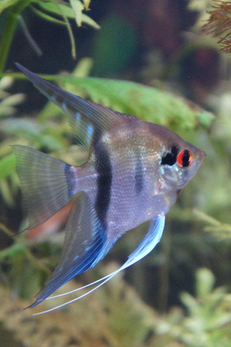 Freshwater silver angelfish